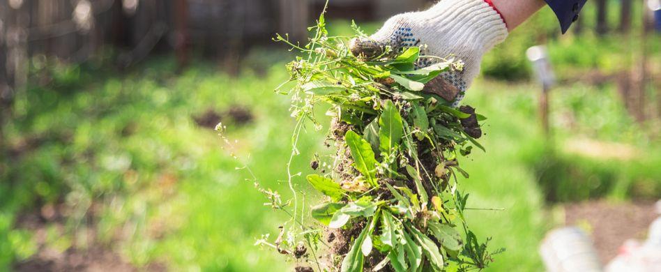 Unkraut in der Hand im Garten gehalten