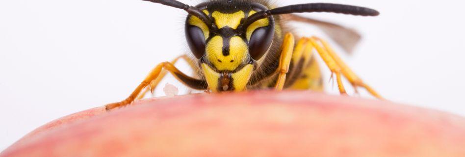 Erste Hilfe: Was tun bei einem Wespenstich?