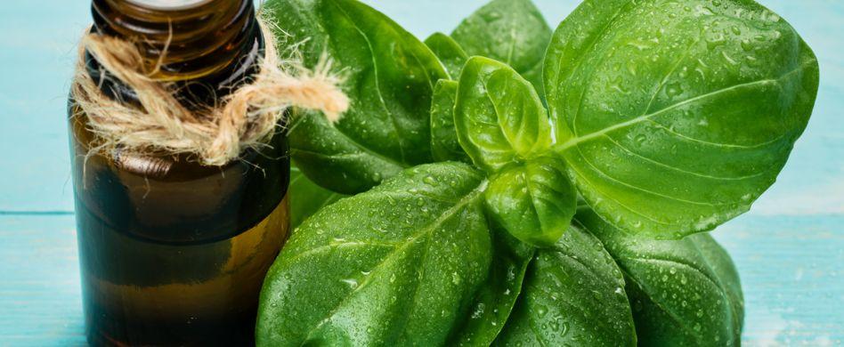 Heilpflanze Basilikum: Lindert Kopfschmerzen