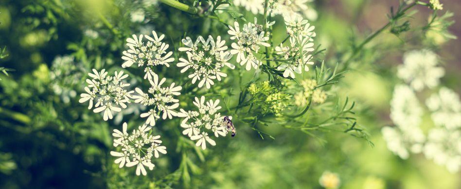 Heilpflanze Anis: Hilft bei Blähungen und Magenschmerzen