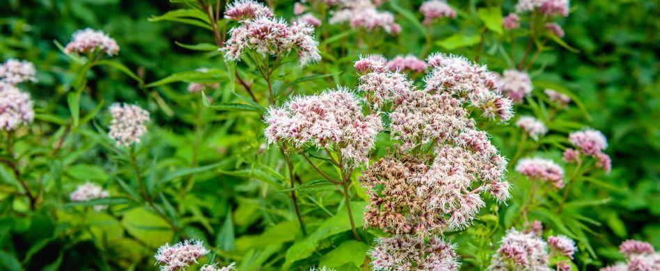 Baldrian: Nebenwirkungen der Heilpflanze