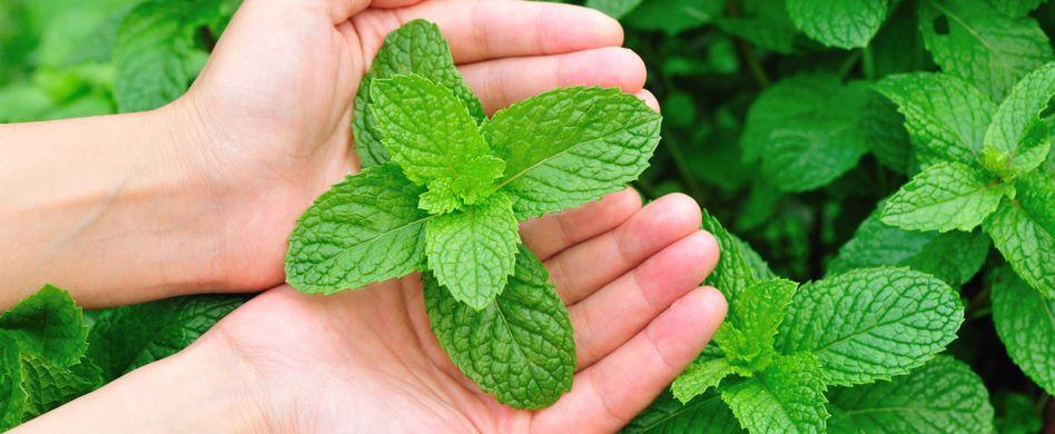 6 Heilpflanzen für die Atemwege: Minze, Eukalyptus und Co.