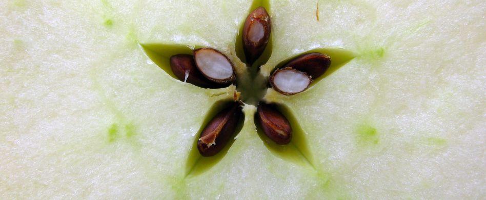 Sind Apfelkerne giftig?