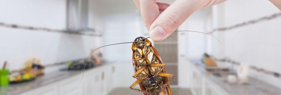 Kakerlaken erkennen: Das kennzeichnet einen Befall durch Küchenschaben