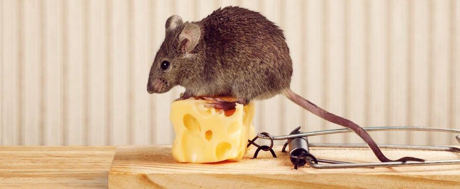 Mäuse im Haus erkennen: Das weist auf die Nager hin