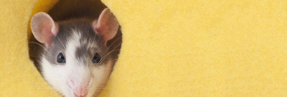 Mäuse vertreiben: 7 tierfreundliche Hausmittel