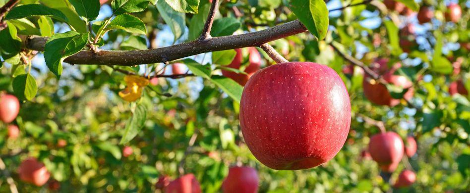 Apfelbaum pflanzen: In 6 Schritten zum eigenen Obstbaum im Garten