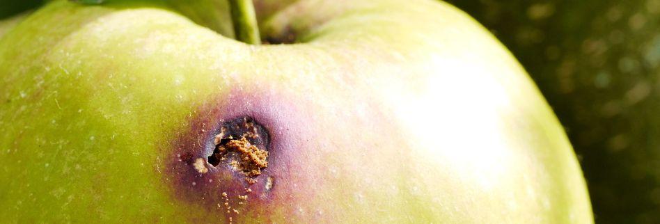 Apfelwickler bekämpfen: So werden Sie die Obstmade los