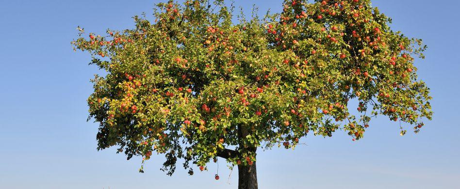 Apfelbaum pflegen: Tipps für einen gesunden Apfelbaum und viel Ertrag