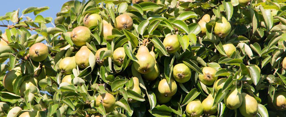 Birnbaum pflanzen: Darum ist der richtige Standort für den Birnbaum so wichtig