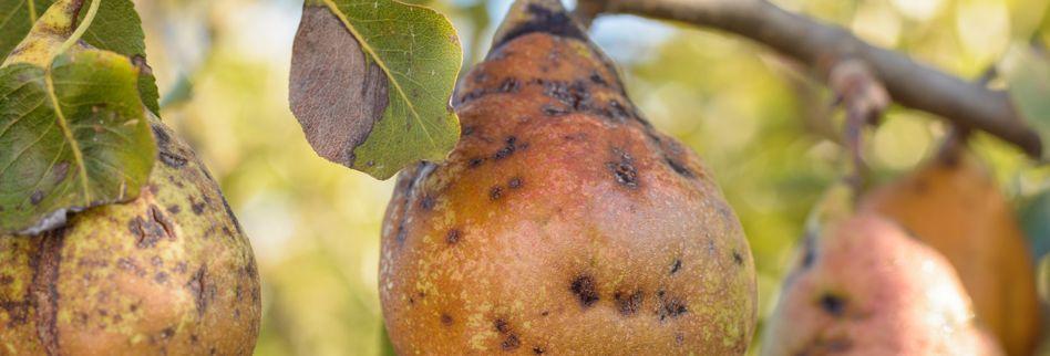 Birnbaum Krankheiten und Schädlinge erkennen und behandeln