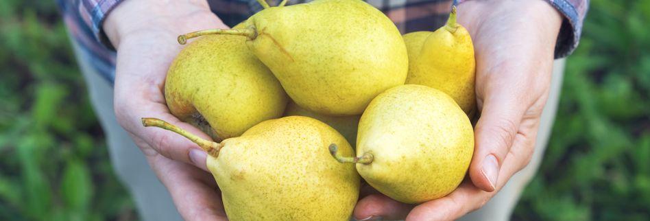 Birnenernte: Birnen ernten und richtig lagern