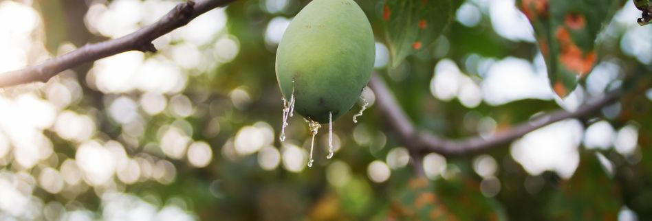 Zwetschgenbaum: So erkennen Sie Krankheiten und Schädlinge