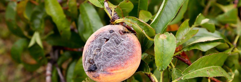 Pfirsichbaum Krankheiten und Schädlinge erkennen und behandeln
