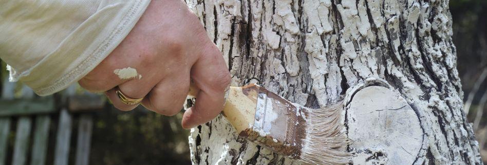 Weißanstrich für Obstbäume: Risse durch Frost verhindern