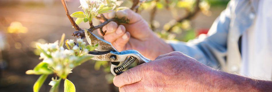Sommerschnitt für Obstbäume: 3 Tipps für eine reiche Fruchternte