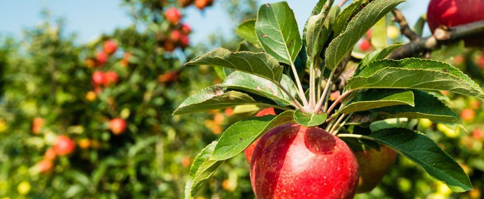 6 beliebte Spalierbäume: Leckeres Spalierobst für den Garten
