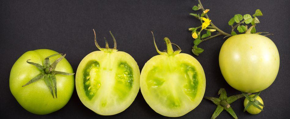 Grüne Tomaten nachreifen lassen: Tricks für rote Früchte
