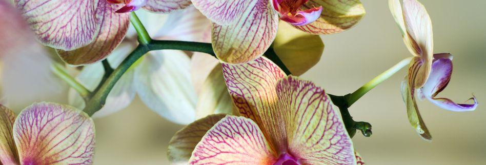 Orchideen pflegen: Mit dieser Pflege leben die schönen Zierpflanzen länger