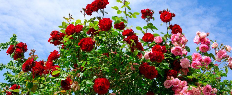Rosen düngen: Wann und wie?