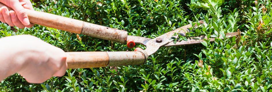 Buchsbaum schneiden: Wann und wie?