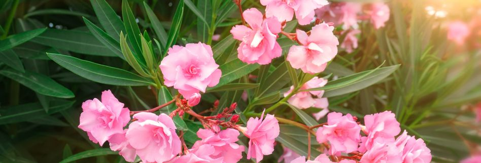 Oleander vermehren: Anleitung für verschiedene Methoden