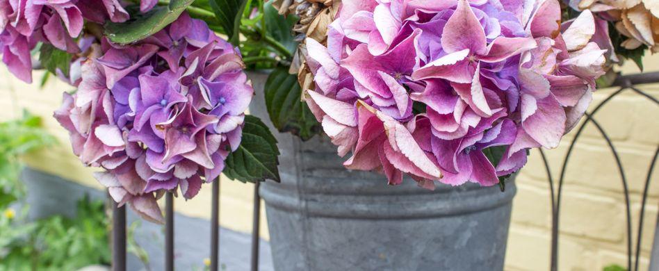 Hortensien im Kübel: 4 Pflegetipps, die Sie kennen sollten
