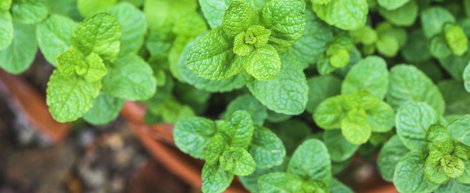Minze: Pflanzen und Wurzelsperre anlegen leicht gemacht