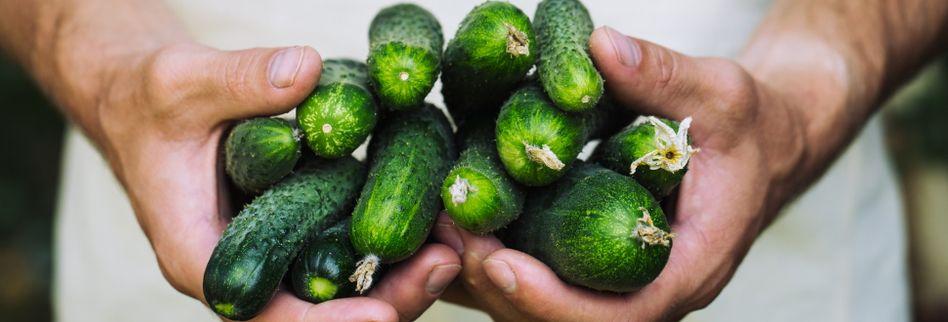 Gurken ernten und lagern: So schmeckt es immer knackig-lecker