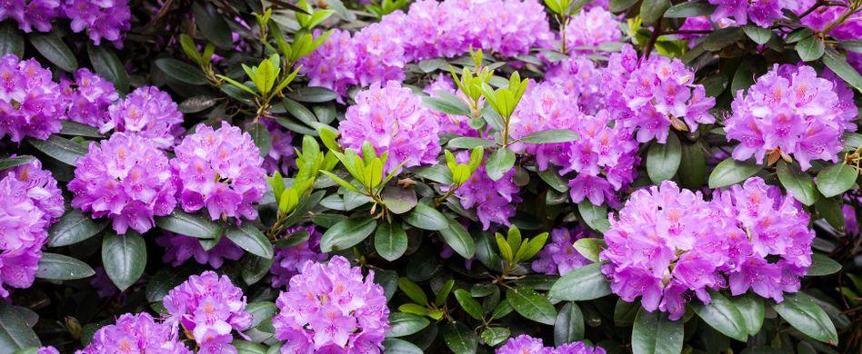 Rhododendron vermehren: Mit Stecklingen zum Erfolg