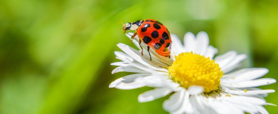 Marienkäfer im Garten: Nützlinge oder Schädlinge?