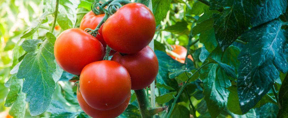 Kraut- und Braunfäule bei Tomaten vorbeugen: Wichtige Tipps
