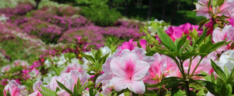 Rhododendron umpflanzen: Wann, wie und wohin – die besten Tipps
