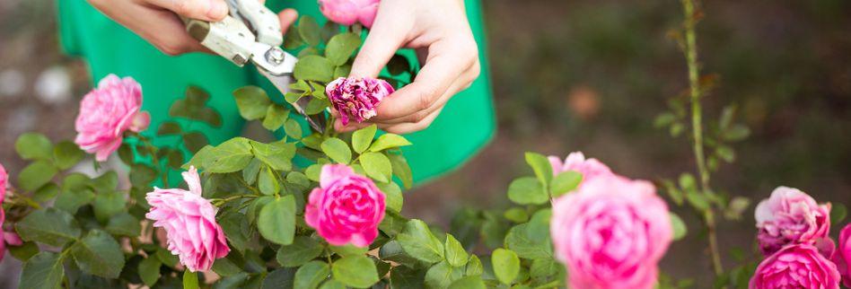 Rosen schneiden: 4 Fehler, die Sie im Frühjahr vermeiden sollten