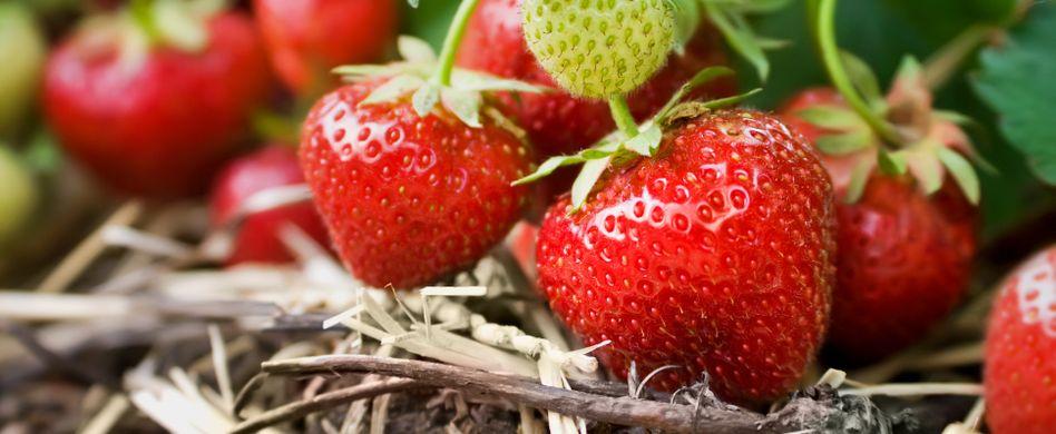 Erdbeeren pflanzen: Die besten Tipps für das Frühjahr