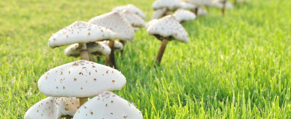 Hexenringe und Pilze im Rasen: So werden Sie die Störenfriede los