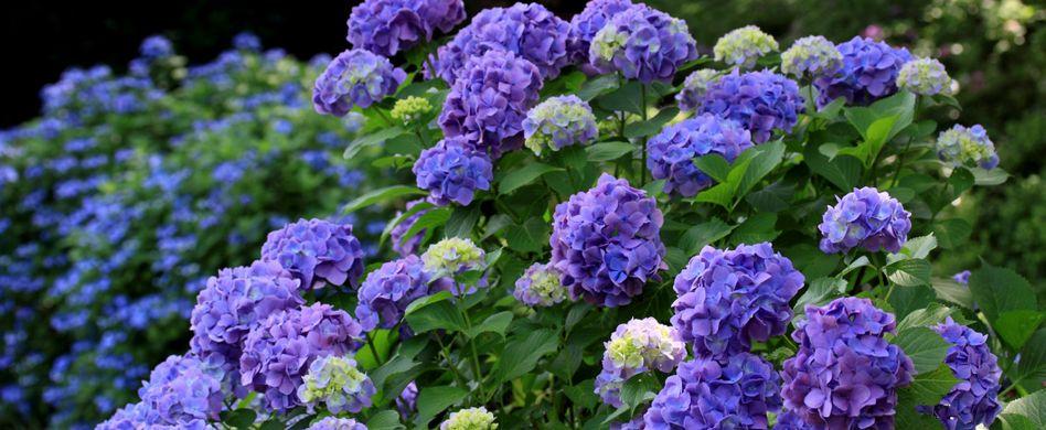 Hortensien schneiden: So gelingt der Frühjahrsschnitt