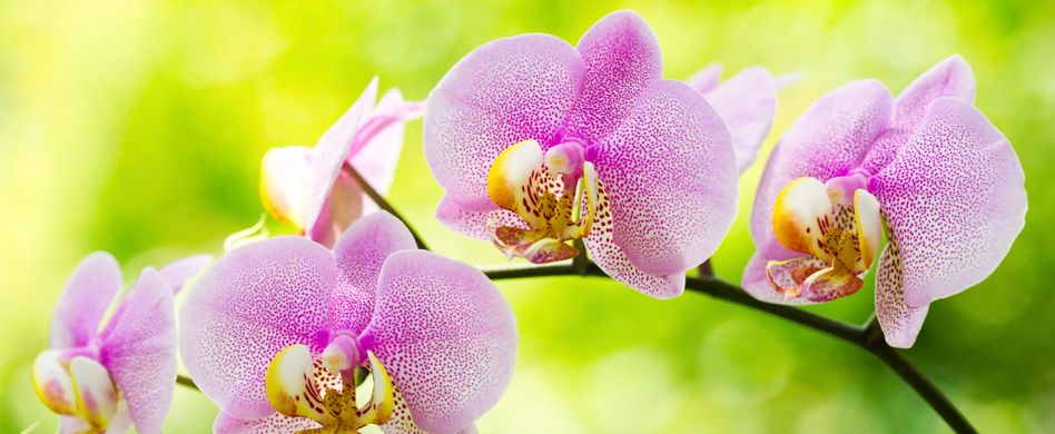 Orchideen schneiden: Nach der Blüte Hand anlegen
