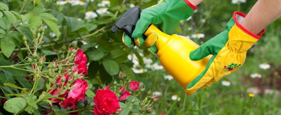Rosen: Typische Krankheiten und Schädlinge bekämpfen