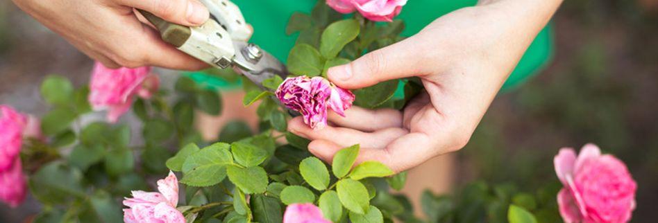 5 Tipps für die Rosenpflege im Sommer