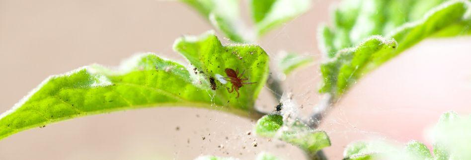 Spinnmilben bekämpfen: Tipps gegen die lästigen Schädlinge