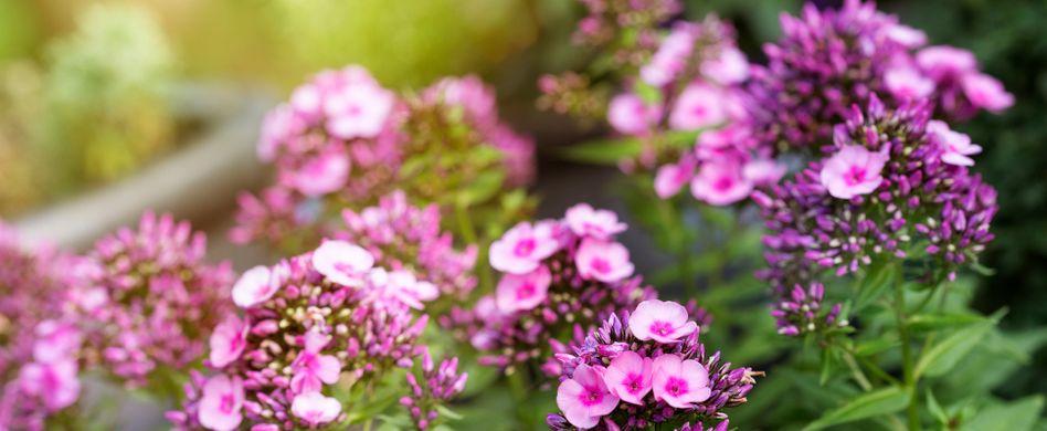 Phlox schneiden: 4 Tipps, um die Flammenblumen in Form zu bringen