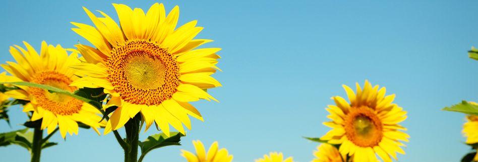 Sonnenblumen pflanzen: So kommt die gelbe Blütenpracht in Ihren Garten