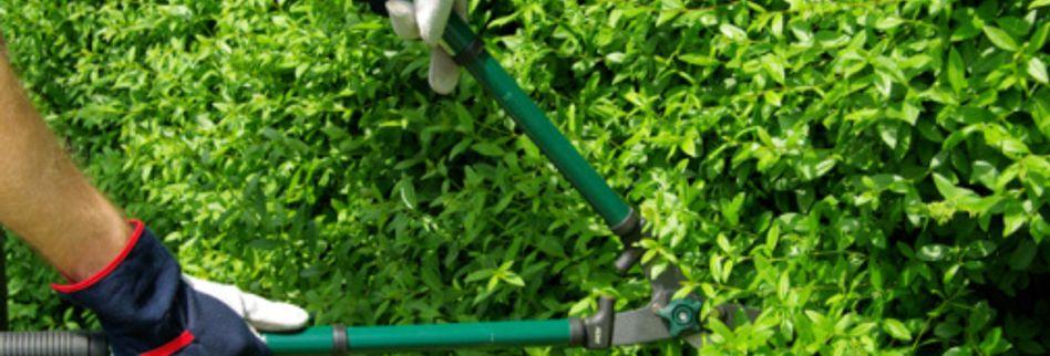 Heckenschnitt im Sommer: Laub abwerfende Hecke schneiden