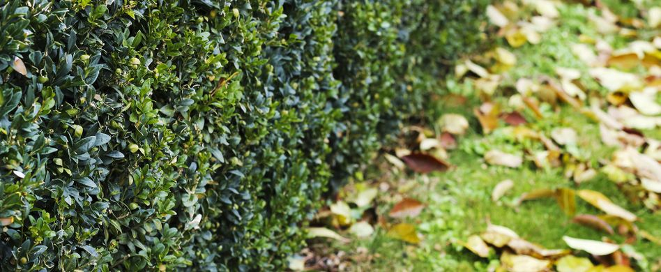 Hecke schneiden im Herbst: Wann und wie gehts richtig?