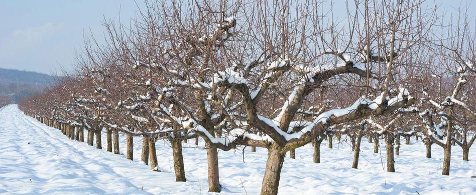 Obstbäume vor Frost schützen: So kommen sie gut durch den Winter