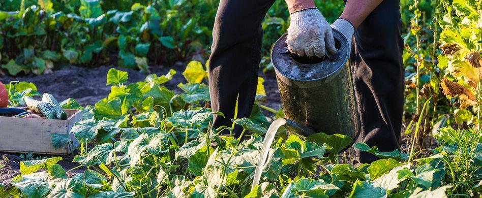 Gemüsebeet pflegen: Darauf sollten Sie achten