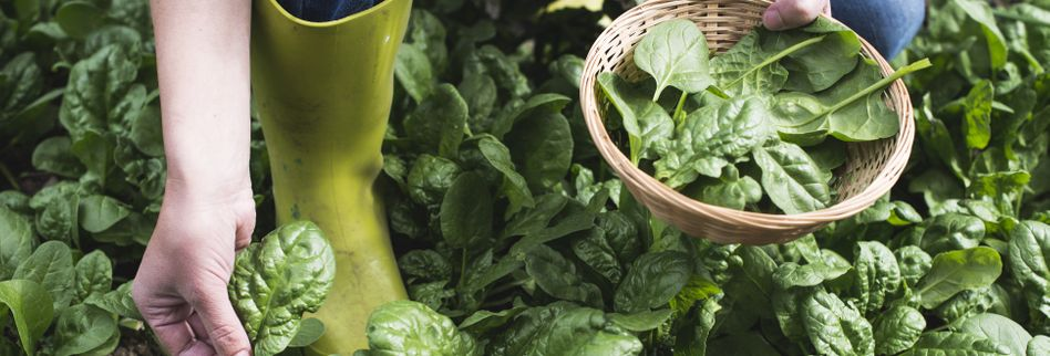 Spinat anbauen: Gesundes Gemüse im Frühjahr säen