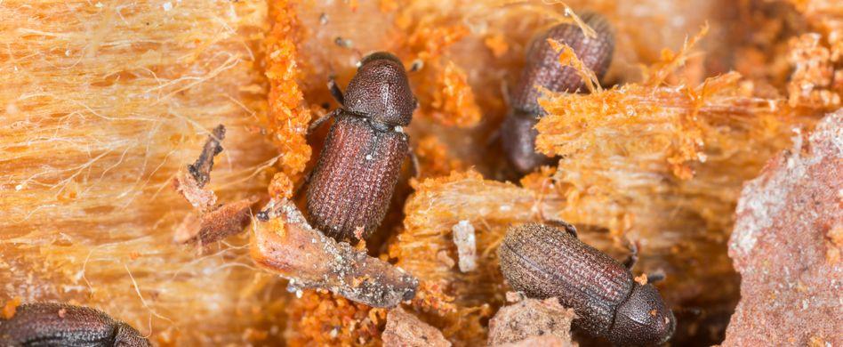 Diese Käfer schaden Ihrem Gehölz: So wird man Borkenkäfer los