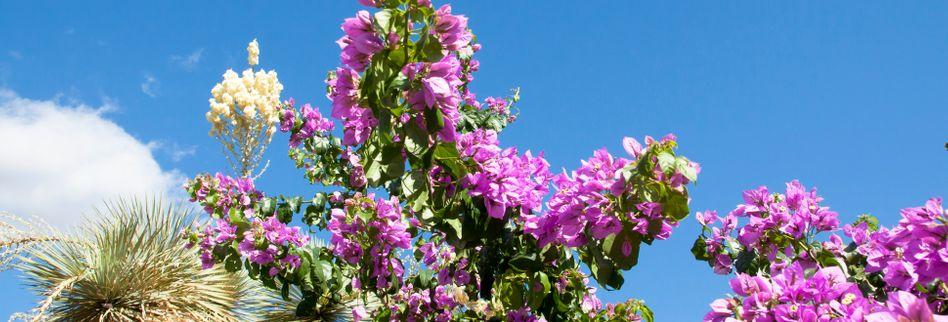 Mediterrane Pflanzen für den Garten: Südliches Flair mit diesen 5 Gewächsen